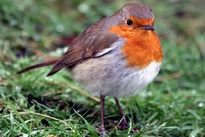 Robin soars