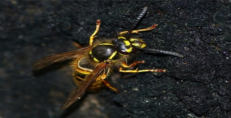 5 New long-haired wasp species discovered in India