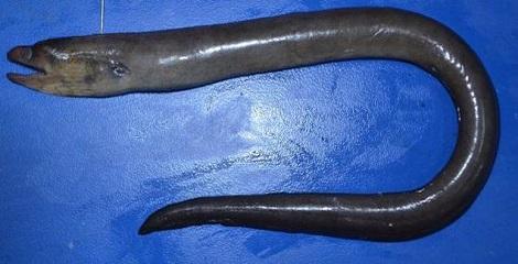 New Eel species discovered in West Bengal
