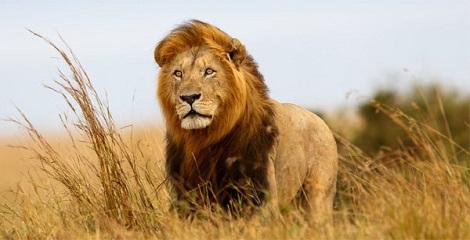 U.S. places Indian Lion in endangered species list