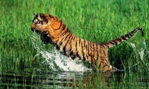 India to host 3rd Asian Ministerial Conference on Tiger Conservation