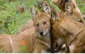 Endangered asiatic wild dogs spotted in China nature reserve