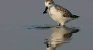 Endangered bird spoon-billed sandpiper spotted in China
