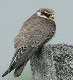 Rare sighting of Amur Falcon sets birdwatchers' hearts aflutter