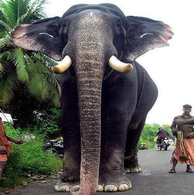 Oldest elephant in Kerala set to enter Guinness