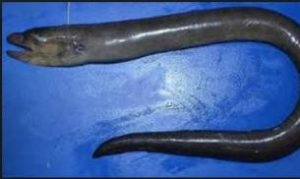 New species of eel found in Bay of Bengal