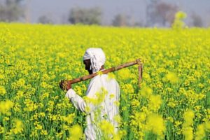 Supreme Court stays commercial release of GM mustard