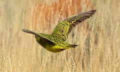 Mysterious Night Parrot Sighted in Western Australia for First Time in 100 Years