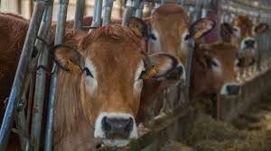 Centre bans sale of cows for slaughter at animal markets, brings restrictions on cattle trade