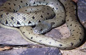 New Species of Grass Snake Identified in Europe