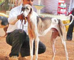 Karnataka's Mudhol Hound becomes First Indian Dog Breed to be trained for Army Duty