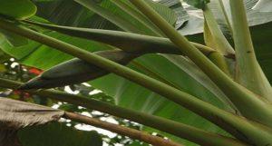 Musa paramjitiana - New species of wild banana discovered in Andaman and Nicobar