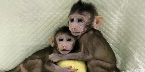 Chinese scientists clone monkeys for the first time