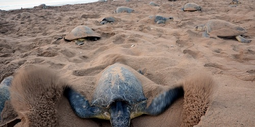 Bahuda Rookery: Another Olive Ridley Nesting Site in Odisha