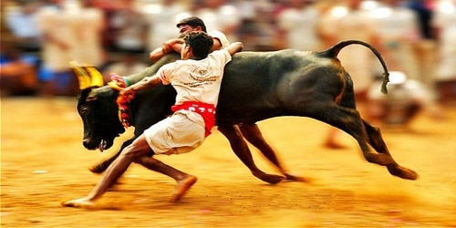 TN bull taming event enters world record