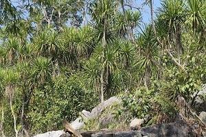 Dracaena cambodiana