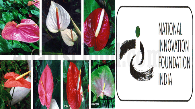 NIF boosts new varieties of Anthurium