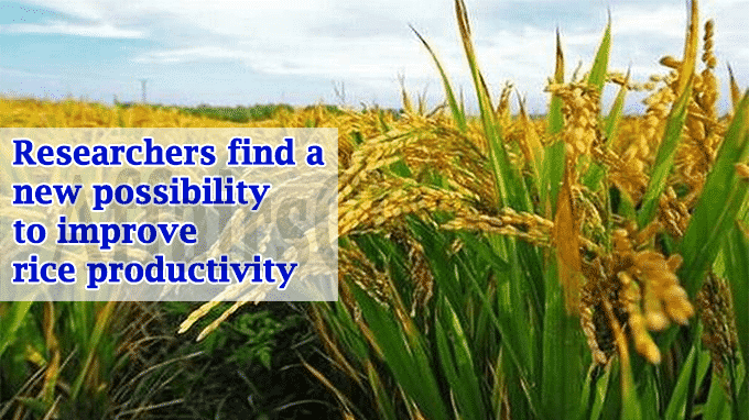 Researchers find a new possibility to improve rice productivity