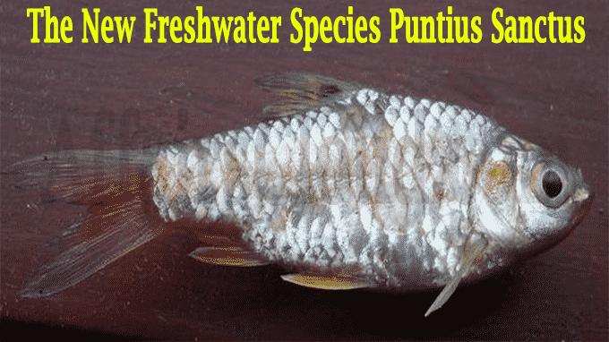 The new freshwater species, Puntius sanctus
