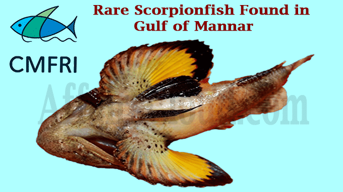 Rare scorpionfish found in Gulf of Mannar