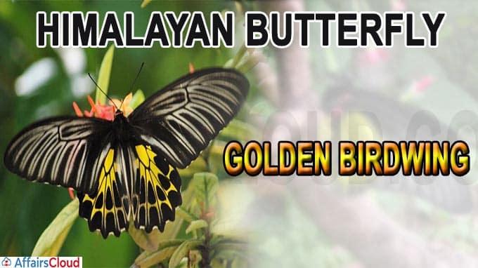 Himalayan butterfly named Golden Birdwing