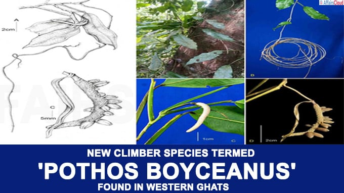 New climber species termed as 'Pothos boyceanus' found in Western Ghats