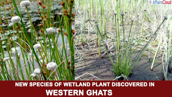New species of wetland plant discovered in Western Ghats