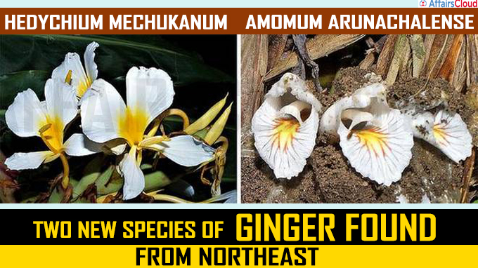 Two new species of ginger found from northeast