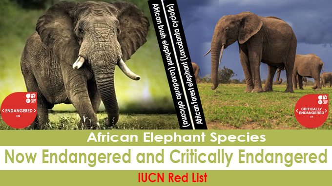 African elephant species now Endangered and Critically Endangered