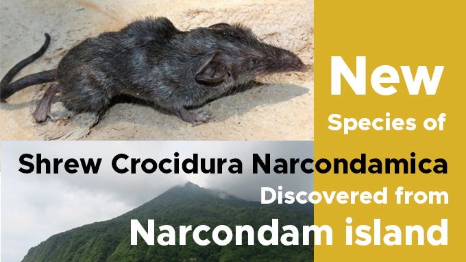 New-species-of-shrew-Crocidura-narcondamica-discovered-from-Narcondam-island