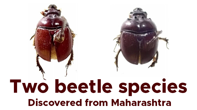 Two-beetle-species-discovered-from-Maharashtra